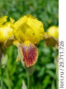 Купить «Желтый бородатый ирис (лат. Iris barbatus) цветет в саду», фото № 29711726, снято 11 июня 2018 г. (c) Елена Коромыслова / Фотобанк Лори