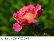 Купить «Роза чайно-гибридная Одри Уилкокс (Одри Вилкокс, Одрей Вилкокс), (лат. Audrey Wilcox), Fryers Roses, Великобритания, 1995», эксклюзивное фото № 29712578, снято 27 июля 2015 г. (c) lana1501 / Фотобанк Лори