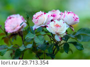 Купить «Розы на фоне сада», фото № 29713354, снято 6 июля 2017 г. (c) Татьяна Белова / Фотобанк Лори