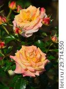 Купить «Роза чайно-гибридная Британия (лат. Rosa Britannia), Fryer's Roses, Англия 1998», эксклюзивное фото № 29714550, снято 27 июля 2015 г. (c) lana1501 / Фотобанк Лори