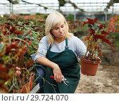 Купить «Female florist in apron with scissors cutting plants of begonia in hothouse», фото № 29724070, снято 20 августа 2018 г. (c) Яков Филимонов / Фотобанк Лори