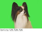Купить «Beautiful dog Papillon male on green background», фото № 29728726, снято 25 августа 2019 г. (c) Юлия Машкова / Фотобанк Лори