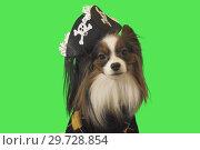 Купить «Beautiful dog Papillon in pirate costume on green background», фото № 29728854, снято 25 августа 2019 г. (c) Юлия Машкова / Фотобанк Лори