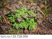 Купить «Corydalis solida (хохлатка)», фото № 29728990, снято 15 апреля 2018 г. (c) Юлия Бабкина / Фотобанк Лори