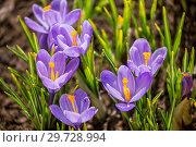 Купить «Purple crocus on flowerbed», фото № 29728994, снято 15 апреля 2018 г. (c) Юлия Бабкина / Фотобанк Лори