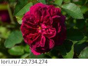 Купить «Роза кустарниковая Дарси Басселл (AUSdecorum, Monferrato), (Darcey Bussell). David Austin, Великобритания 2006», эксклюзивное фото № 29734274, снято 27 июля 2015 г. (c) lana1501 / Фотобанк Лори