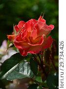 Роза полиантовая Солей дю Монд (лат. Soleil du Monde). Delbard (Делбар), France 2007. Стоковое фото, фотограф lana1501 / Фотобанк Лори