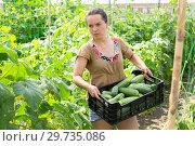 Купить «Woman professional gardener holding crate with cucumbers», фото № 29735086, снято 23 января 2019 г. (c) Яков Филимонов / Фотобанк Лори
