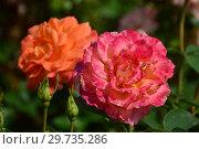 Купить «Роза чайно-гибридная Сэвенф Хэвен (FRYfantasy, Севенс Хэвен), (лат. Rosa Seventh Heaven). Fryer's Roses, Великобритания 2003», эксклюзивное фото № 29735286, снято 17 июля 2015 г. (c) lana1501 / Фотобанк Лори