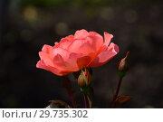 Купить «Роза чайно-гибридная Джекс Виш (Kirsil), (лат. Jack s Wish), C&K Jones. Gordon Kirkham, Великобритания, 2003», эксклюзивное фото № 29735302, снято 17 июля 2015 г. (c) lana1501 / Фотобанк Лори