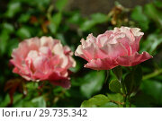 Купить «Роза флорибунда Жан Кокто (MEIkokan, Charleston, Tequila Supreme), (лат. Jean Cocteau). Meilland, Франция 2009», эксклюзивное фото № 29735342, снято 17 июля 2015 г. (c) lana1501 / Фотобанк Лори