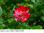 Купить «Роза флорибунда Крэйзи фо Ю (Fourth of July, Форс оф Джулай, WEKroalt, Hanabi, Climbing Fourth Of July), (лат. Crazy for You). Harkness Roses (Розы Харкнесса), Великобритания 2009», эксклюзивное фото № 29736518, снято 17 июля 2015 г. (c) lana1501 / Фотобанк Лори