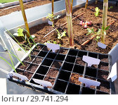 Купить «Seedling with first sprouts in black plastic on rise bed orchard garden.», фото № 29741294, снято 20 марта 2017 г. (c) easy Fotostock / Фотобанк Лори