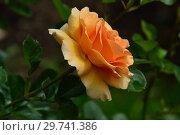 Купить «Роза чайно-гибридная Гарден Глори (HARzumber, Welsh Golds, Welwyn Garden Glory, (лат. Garden Glory), Harkness Roses, Великобритания 1996», эксклюзивное фото № 29741386, снято 17 июля 2015 г. (c) lana1501 / Фотобанк Лори