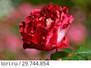 Купить «Роза чайно-гибридная (rosa tea hybrid) Ностальжи (Ностальгия, La Garconne, TANeiglat), (лат. Nostalgie). Rosen Tantau (Розы Тантау), Germany 1995», эксклюзивное фото № 29744854, снято 24 августа 2015 г. (c) lana1501 / Фотобанк Лори