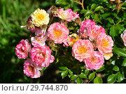 Купить «Роза кустарниковая (шраб) Джой Аморина (лат. Joy Amorina). De Ruiter Innovations B.V., Нидерланды», эксклюзивное фото № 29744870, снято 24 августа 2015 г. (c) lana1501 / Фотобанк Лори