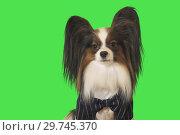 Купить «Beautiful dog Papillon in business suit with bow tie on green background», фото № 29745370, снято 25 августа 2019 г. (c) Юлия Машкова / Фотобанк Лори