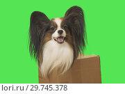 Купить «Beautiful dog Papillon in cardboard box on green background», фото № 29745378, снято 25 августа 2019 г. (c) Юлия Машкова / Фотобанк Лори