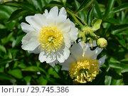 Пион молочноцветковый, или китайский Бу-Ти (лат. Paeonia Bu-Te), Вассенбург, США 1954. Стоковое фото, фотограф lana1501 / Фотобанк Лори