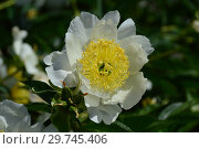 Пион молочноцветковый Бу-Ти (лат. Paeonia Bu-Te), Вассенбург, 1954 (США) Стоковое фото, фотограф lana1501 / Фотобанк Лори