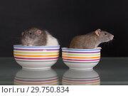 Купить «Domestic rats in a plate», фото № 29750834, снято 23 июня 2014 г. (c) Argument / Фотобанк Лори
