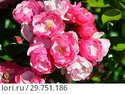 Купить «Роза почвопокровная Ангела (Анжела, Анжелика, KORday, Angelica),(лат. Angela). W. Kordes, Германия 1984», эксклюзивное фото № 29751186, снято 24 августа 2015 г. (c) lana1501 / Фотобанк Лори