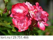 Купить «Роза парковая Вегесакер Шарм (KORutilta, TG2649), (лат. Vegesacker Charme). Kordes, Германия 2001», эксклюзивное фото № 29751466, снято 20 августа 2015 г. (c) lana1501 / Фотобанк Лори