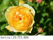 Купить «Роза парковая Грэхэм Томас (Грехем Томас, Грехам Томас, AUSmas), (лат. Graham Thomas). David Austin Roses (Девид Остин), Великобритания 1983», эксклюзивное фото № 29751486, снято 20 августа 2015 г. (c) lana1501 / Фотобанк Лори