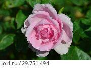 Купить «Роза чайно-гибридная Мам ин э Миллион (POULren013, Ghita, Millie, Ghita Renaissance), (лат. Mum in a Million). Poulsen Roser A/S, Дания 2004», эксклюзивное фото № 29751494, снято 28 августа 2015 г. (c) lana1501 / Фотобанк Лори