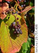 Купить «Желто-зеленые листочки винограда с ягодами», эксклюзивное фото № 29751498, снято 26 августа 2015 г. (c) lana1501 / Фотобанк Лори