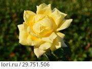 Купить «Роза чайно-гибридная Ландора (Sunblest). Tantau, Германия 1970», эксклюзивное фото № 29751506, снято 26 августа 2015 г. (c) lana1501 / Фотобанк Лори