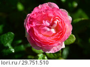 Купить «Роза кустарниковая Мадам де Сталь (Мадам де Стаел, Masmast), (лат. Rosa Madame de Stael). Guillot Massad, France 2009», эксклюзивное фото № 29751510, снято 16 августа 2015 г. (c) lana1501 / Фотобанк Лори