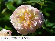 Купить «Роза флорибунда Пастеэлла (Пастелла), (лат. Rosa Pastella, Tan98130). Tantau, Германия 2004», эксклюзивное фото № 29751534, снято 21 августа 2015 г. (c) lana1501 / Фотобанк Лори