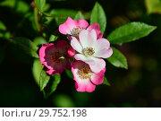 Купить «Мускусная роза Моцарт (лат. Rosa Mozart). P. Lambert, Германия 1937», эксклюзивное фото № 29752198, снято 24 августа 2015 г. (c) lana1501 / Фотобанк Лори