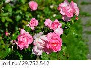 Купить «Роза флорибунда (floribunda) Сантэнер дэ Лурд (Сантенэр де Лурдес, (DELge, Mrs. Jones), (Rosa Centenaire de Lourdes). Delbard-Chabert, Франция 1958», эксклюзивное фото № 29752542, снято 24 августа 2015 г. (c) lana1501 / Фотобанк Лори
