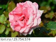 Купить «Роза чайно-гибридная (Rosa tea hybrid) Артур Рембо (Артур Рэмбо, Meihylvol), (Rosa Arthur Rimbaud). Meilland, France 2008», эксклюзивное фото № 29754574, снято 7 августа 2015 г. (c) lana1501 / Фотобанк Лори