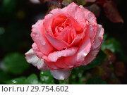 Купить «Роза чайно-гибридная Артур Рембо (Артур Рэмбо, Meihylvol), (лат. Rosa Arthur Rimbaud). Meilland International, France 2008», эксклюзивное фото № 29754602, снято 7 августа 2015 г. (c) lana1501 / Фотобанк Лори