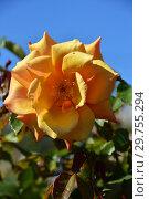 Роза чайно-гибридная Бэл Эпок (Бель Эпок, Бэль Эпок, FRYaboo), (rosa Belle Epoque). Fryer's Roses, Britain 1994. Стоковое фото, фотограф lana1501 / Фотобанк Лори