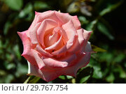 Купить «Роза чайно-гибридная Кранфорд (Frylustre), (лат. Cranford). Fryer Roses Великобритания, 2008», эксклюзивное фото № 29767754, снято 21 августа 2015 г. (c) lana1501 / Фотобанк Лори