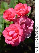 Купить «Роза полиантовая Капитоль (лат. Rosa Capitole). Laperriere, Франция 1985», эксклюзивное фото № 29768034, снято 4 августа 2015 г. (c) lana1501 / Фотобанк Лори