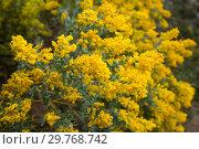 Купить «acacia howittii flowers», фото № 29768742, снято 18 июня 2019 г. (c) Яков Филимонов / Фотобанк Лори