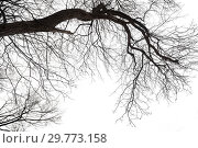 Dry bare branches isolated on white background. Стоковое фото, фотограф Евгения Литовченко / Фотобанк Лори