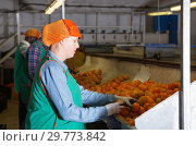 Купить «Focused woman working on citrus sorting line at warehouse, checking quality of tangerines», фото № 29773842, снято 15 декабря 2018 г. (c) Яков Филимонов / Фотобанк Лори