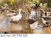 Купить «Domestic geese on pond», фото № 29774150, снято 15 декабря 2018 г. (c) Яков Филимонов / Фотобанк Лори
