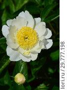 Пион молочноцветковый, или китайский Бу-Ти (лат. Paeonia Bu-Te), Вассенбург (Wassenberg), США 1954. Стоковое фото, фотограф lana1501 / Фотобанк Лори