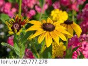 Купить «Желтая рудбекия (лат.Rudbeckiа) цветет в саду», фото № 29777278, снято 8 августа 2018 г. (c) Елена Коромыслова / Фотобанк Лори