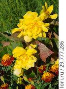 Купить «Бегония желтая клубневая цветет на клумбе в саду», фото № 29777286, снято 8 августа 2018 г. (c) Елена Коромыслова / Фотобанк Лори