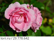 Купить «Роза флорибунда Розенфи (KORapriber), (лат. Rosenfee). W. Kordes & Sons, Germany 2006», эксклюзивное фото № 29778642, снято 14 августа 2015 г. (c) lana1501 / Фотобанк Лори