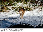 Купить «Wolves in winter», фото № 29782694, снято 20 февраля 2019 г. (c) age Fotostock / Фотобанк Лори