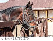 Купить «Head of a beautiful chestnut horse», фото № 29786270, снято 11 июня 2018 г. (c) FotograFF / Фотобанк Лори